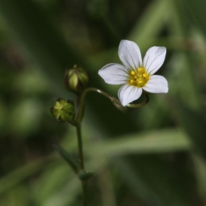 Linum catharticum L. (Lin cathartique)