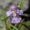 John De Vos - Galeopsis angustifolia Ehrh. ex Hoffm. [1804]