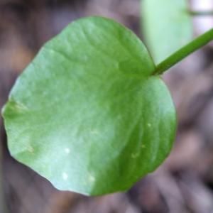 Photographie n°239843 du taxon Ranunculus ophioglossifolius Vill. [1789]