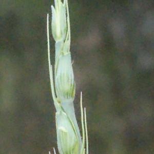 - Aegilops cylindrica Host [1802]