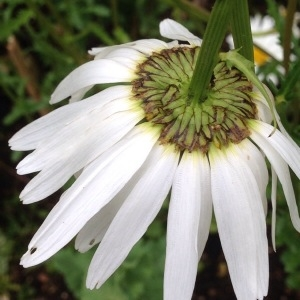 Photographie n°239962 du taxon Leucanthemum vulgare Lam. [1779]