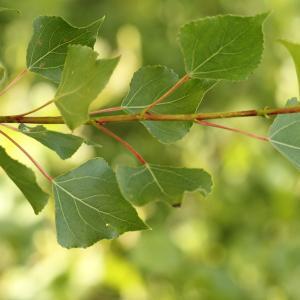 Photographie n°240023 du taxon Populus nigra L.