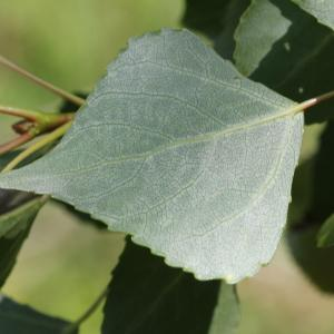 Photographie n°240025 du taxon Populus nigra L.