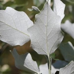 Photographie n°240073 du taxon Populus nigra L.