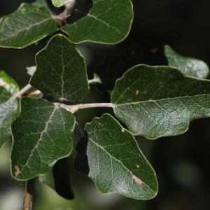 Photographie n°240074 du taxon Populus nigra L.