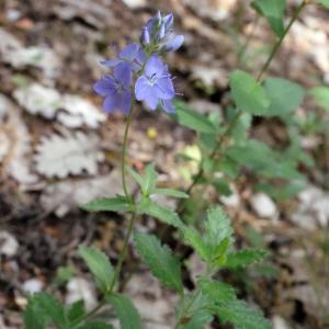 Photographie n°240094 du taxon Veronica austriaca L.