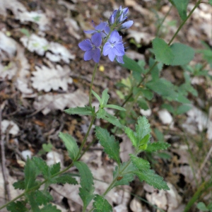 Photographie n°240095 du taxon Veronica austriaca L.