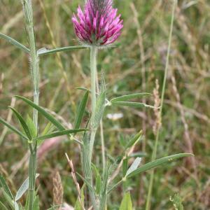Photographie n°240167 du taxon Trifolium purpureum Loisel. [1807]