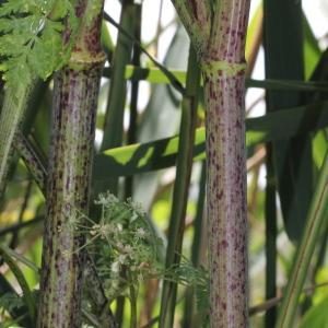 Photographie n°240184 du taxon Conium maculatum var. maculatum