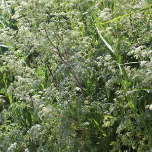 Photographie n°240187 du taxon Conium maculatum var. maculatum