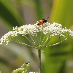 Photographie n°240190 du taxon Conium maculatum var. maculatum