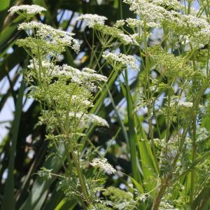 Photographie n°240191 du taxon Conium maculatum var. maculatum