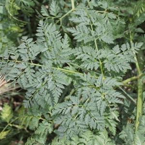 Photographie n°240217 du taxon Conium maculatum var. maculatum
