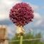 Marie  Portas - Allium sphaerocephalon L.