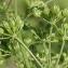 Marie  Portas - Conium maculatum var. maculatum