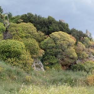 Photographie n°240269 du taxon Euphorbia dendroides L. [1753]