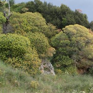 Photographie n°240270 du taxon Euphorbia dendroides L. [1753]
