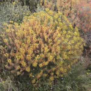Photographie n°240271 du taxon Euphorbia dendroides L. [1753]