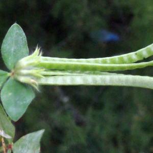 Photographie n°240292 du taxon Lotus ornithopodioides L. [1753]