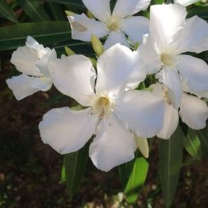 Photographie n°240506 du taxon Nerium oleander L. [1753]