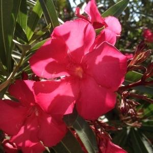 Photographie n°240508 du taxon Nerium oleander L. [1753]