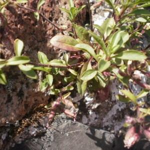 Photographie n°240532 du taxon Saponaria ocymoides L.