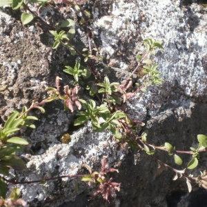 Photographie n°240533 du taxon Saponaria ocymoides L.
