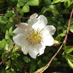 Photographie n°240578 du taxon Rosa arvensis Huds.