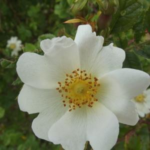 Photographie n°240579 du taxon Rosa arvensis Huds.