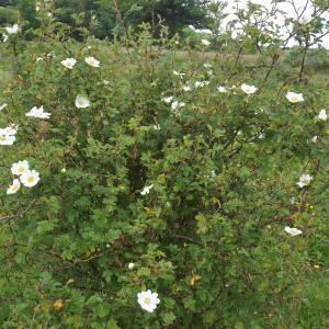 Photographie n°240581 du taxon Rosa arvensis Huds.