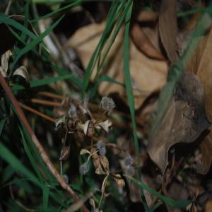 Photographie n°240649 du taxon Galium aparine L.