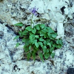 Photographie n°240803 du taxon Phyteuma charmelii Vill. [1785]
