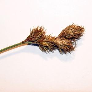 Photographie n°240944 du taxon Carex leporina L. [1753]