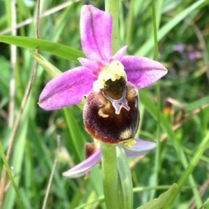 Photographie n°241033 du taxon Ophrys fuciflora (F.W.Schmidt) Moench [1802]