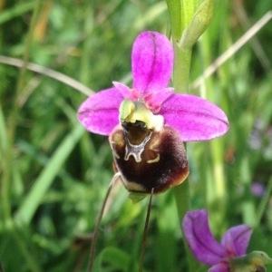 Photographie n°241034 du taxon Ophrys fuciflora (F.W.Schmidt) Moench [1802]