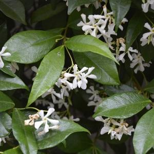 Trachelospermum jasminoides (Lindl.) Lem.