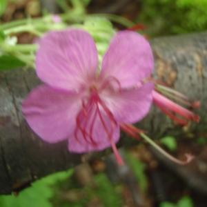 Photographie n°241248 du taxon Geranium macrorrhizum L.