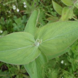 Photographie n°241249 du taxon Hypericum L. [1753]