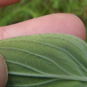 Photographie n°241250 du taxon Hypericum L. [1753]