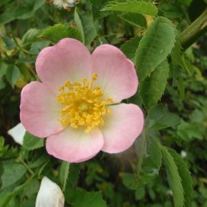 Rosa sp. (Églantier)