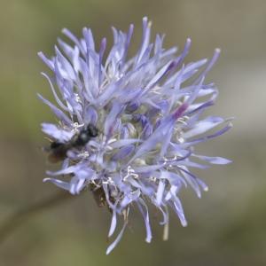 Jasione montana L. subsp. montana (Jasione des montagnes)