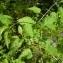 Thierry Ravayrol - Solanum dulcamara L. [1753]