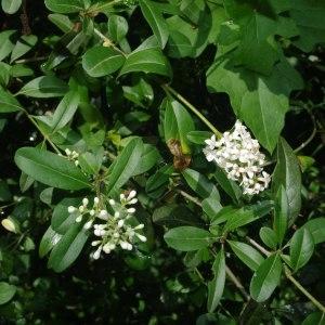 Photographie n°241341 du taxon Ligustrum vulgare L. [1753]