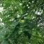 oochristelleoo - Liriodendron tulipifera L.