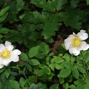 Photographie n°241359 du taxon Rosa arvensis Huds.