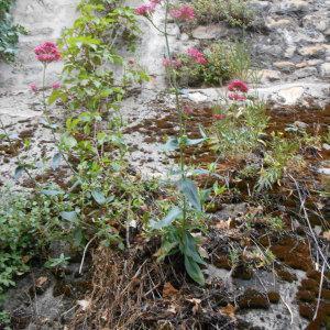 Photographie n°241360 du taxon Centranthe lilas-d'Espagne