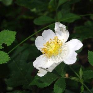 Photographie n°241361 du taxon Rosa arvensis Huds. [1762]