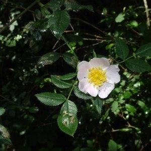 Photographie n°241362 du taxon Rosa canina L. [1753]