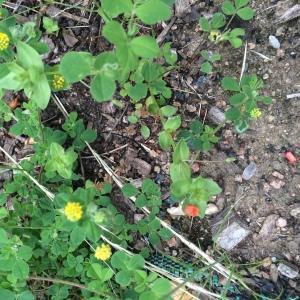 Photographie n°241472 du taxon Chondrille à feuilles de joncs