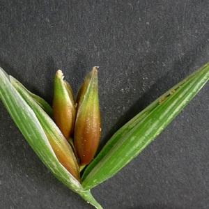 Avena sativa L. subsp. sativa (Avoine cultivée)